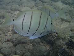 Manini / Convict Tang (ShotoPhoto) Tags: fish hawaii oahu olympus tang kailua underwaterphotography convicttang tg1 kailuabeach manini