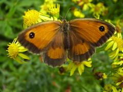 Aug2013 297Maniola tithonus - Gatekeeper  on Senecio jacobaea - Ragwort (monica_meeneghan) Tags: flowers butterfly insect summer13 flowersorinsectsmacro bigbutterflycount