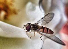 Garden life (Sublime Visuals) Tags: uk england flower macro garden fly feeding wildlife iphoneography olloclip