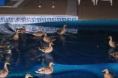 Water walking ducks!! (Paul Burd Photography) Tags: night flash ducks swimmingpool