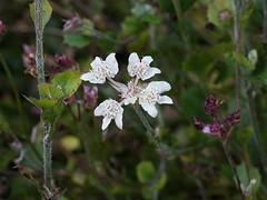 "Xanthosia rotundifolia. ""Southern Cross"" (Tatters ) Tags: flower australia melbourne southerncross vic whiteflowers xanthosiarotundifolia maranoagarden"