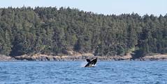 Orca breaching (Paul Cottis) Tags: dolphin victoria vancouverisland whale orca killerwhale breaching transient juandefucastrait paulcottis