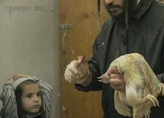 Derasah (David Mor) Tags: yomkippur butcher jewish rooster custom hen slaughterhouse gerusalemme jrusalem ultraorthodox haredi meashearim  dayofatonement   religiousritual  kapparot   measchearim       masharim    shochett knifeshchita