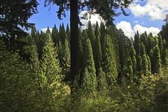IMG_0338-2 (ScenicScapes) Tags: travel trees green nature beautiful beauty oregon portland landscape scenery scenic arboretum pacificnorthwest greenery sequoia scenics cartwright hoytarboretum sceniclandscape photoscenic photoscenics