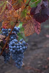 Early Rain #9 (Tom Moyer Photography) Tags: california rain vineyard vines grapes raindrops sonomacounty winecountry