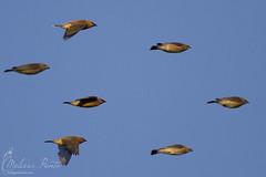 Cedar Waxwings Morning Flight (Melissa Penta) Tags: birds nj capemay waxwing higbee morningflight
