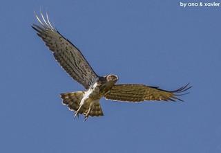 Águia-cobreira, Short-toed Eagle(Circaetus gallicus) - em Liberdade [in Wild]