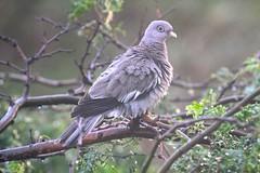 Bare-eyed Pigeon (Patagioenas corensis) (a320rainman) Tags: birds aruba eareddove knuthansen bareeyeddove