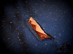 12.3.13: Leaf in the Puddle (Ruff Edge Design) Tags: water leaves picasa lomoish
