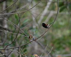 Red-backed Fairy Wren Buttshot (Welklin's Wilds) Tags: red bird birds birding australian australia bands fairy wren wrens backed redbacked birdbands