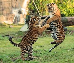 sumatraanse tijger lara en janine burgerszoo IMG_0614 (j.a.kok) Tags: tiger lara s