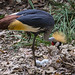 East African Crowned Crane With Eggs