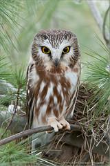 Saw-whet Owl (Raymond J Barlow) Tags: ontario canada wildlife adventure raptor workshop owl sawwhet raymondbarlowphototours