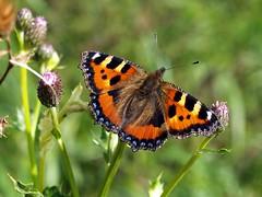 Small Tortoiseshell Butterfly (Aglais urticae) (saxonfenken) Tags: butterfly insect orange smalltoitoiseshell aglaiseurticae dof herowinner yourockwinner gamewinner pregame challengewinner a3b friendlychallenges ultrahero gamex2 challengeyouwinner 8888but 8888 tcf