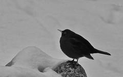 Black on white (nikkorglass) Tags: winter bw white black home blackwhite vinter sweden nik sverige turdusmerula blackbird hemma koltrast