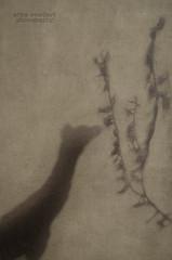 shadow safari (ericaeverhart) Tags: shadows giraffe 52weeks2014