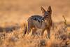 Black-Backed Jackel ([[BIOSPHERE]]) Tags: light gold namibia goldenhour blackbackedjackal namibnaukluftnationalpark