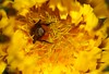 Waiter there's a Fly in my Dandelion (Time's a Tickin') Tags: macro yellow fly dandelion nosedive