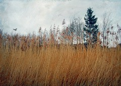 Mid-winter (vesna1962) Tags: trees winter england nature landscape scenery evergreen grasses westyorkshire