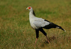 Secretary Bird (Rainbirder) Tags: kenya ngc npc secretarybird sagittariusserpentarius solioranch avianexcellence rainbirder