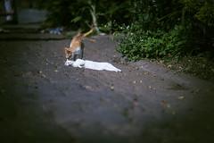Cat (HIKARU Pan) Tags: travel pet animal horizontal cat thailand outdoors photography kitten asia tour kitty chiangmai 135l watchiangman thai1 canonef135mmf2lusm 1dx eos1dx