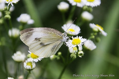Artogeia Butterfly (Johnnie Shene Photography(Thanks, 2Million+ Views)) Tags: flowers flower macro canon butterfly insect lens eos rebel fly dc kiss butterflies sigma insects flies 1770 t3i x5 284 600d artogeia 1770mm f284 artogeias