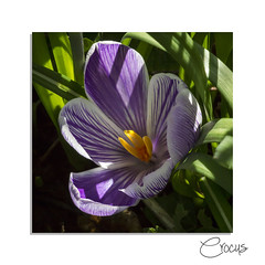 Happy Birthday, Heike and Delia! (hehaden) Tags: square sussex crocus naturereserve variegated swt woodsmill sussexwildlifetrust