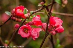 Salmon Quince Chinese New Year Branches (Oregon Coastal Flowers) Tags: new branches year chinese salmon quince
