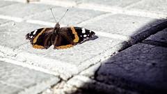 Mariposa (Ambe) Tags: naturaleza segovia mariposa