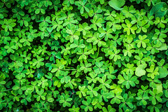 (oZopanda - David Cvico) Tags: macro verde green nature nikon tamron 90mm texturas d600 treboles
