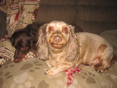 No Hair (Tobyotter) Tags: frank dachshund link doxie