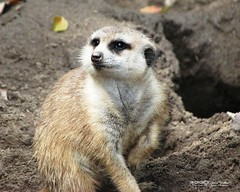 MERKAT 150 (Dancing with Ghosts Graphics) Tags: copyright cute animal mammal meerkat pups graphics small gang mob clan mongoose angola sentry suricate copyrighted burrows suricatta dwg desert merkats diurnal 2013 fawncolored herpestid iteroparous kalahari namib debbrawalker feliform dancingwghosts suricata suricatta dwggraphics botswana oraging siricata majoriae iona