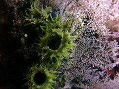 Corals, Liberty Wreck, Tulamben (yayapapaya77) Tags: bali indonesia liberty underwater diving shipwreck wreck corals indonesien wrack tauchen unterwasser korallen tulamben libertywreck canonpowershotg15