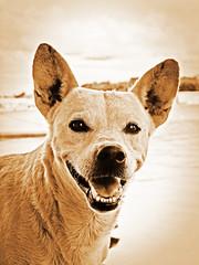 sepia (rodrigofigueiredo) Tags: dog chien pet co brasil sepia perro cachorro rodrigo manaus amazonas figueiredo
