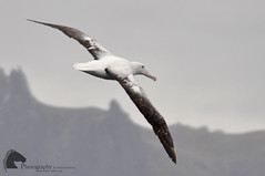 Southern Royal Albatross (Vicktrr) Tags: america ship dolphin south navy royal antarctica dolphins imperial cape tall horn drake passage naval shag wondering dusky albatross antarctic chilean argentinean peales
