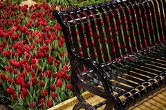 Tulip Bench HBM (Jenny Pics) Tags: red black bench shiny tulips patterns textures colourful torontoontario canadablooms benchmonday
