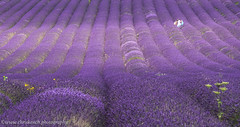 Hitchin Lavender Farm (www.chriskench.photography) Tags: england unitedkingdom gb fujifilm agriculture hertfordshire herts lamiaceae xt1 ickleford mirrorless hitchinlavender kenchie chriskenchphotography wwwchriskenchphotography