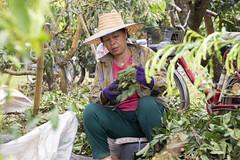 Longan (Lode Engelen - ) Tags: woman thailand working harvest chiangmai longan saraphee