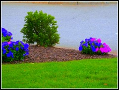 Bushes On A Hill - Photo Taken by STEVEN CHATEAUNEUF On July 18, 2015 - Photo Was Straightened And Extra Sharpness And Saturation Were Added On July 30, 2015 (snc145) Tags: flowers summer nature colors grass photoshop photo scenery seasons cement bark saturation bushes soe autofocus sharpness flickrunitedaward aviaryediting stevenchateauneuf