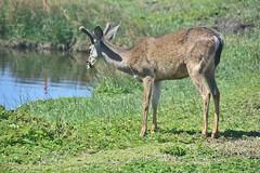 Black-tailed Deer (stevelamb007) Tags: blacktaileddeer deer buck pacificgrove california stevelamb nikon d7200 nikkor18200mm nature wildlife