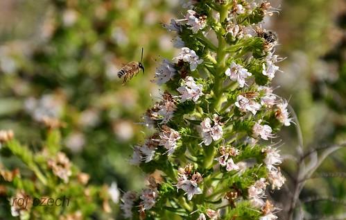 Kanárská včela (Cannarian bee)