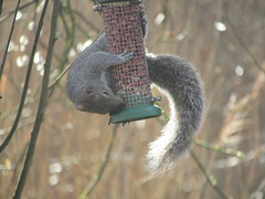 An acrobatic Squirrel raiding the feeders at Hawkley Hall. Taken at Wigan Flashes. (stevencarruthers93) Tags: wigan wiganflashes nature wildlife squirrel mammal greenheart photography outdoors wildlifephotography naturephotography