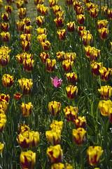 _DSC0794 (Riccardo Q.) Tags: parcosegurtàtulipani places parco altreparolechiave fiori tulipani segurtà