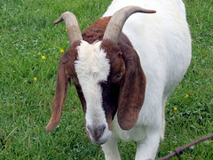 goat glance (natureburbs) Tags: newjersey spring farm horns goat may19alexandria