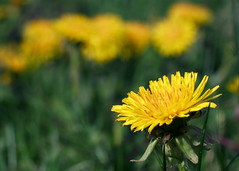 Dandelion and friends (Tom of Fenton) Tags: flowers yellow dendelion