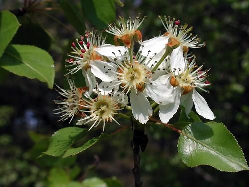 Pyrus bourgaeana Decne. 1807 (ROSACEAE)