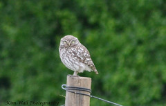 LittleOwl_16062013_1a (Kim Wall Photography (Purplesun2001)) Tags: somerset littleowl nyland kimwallphotography