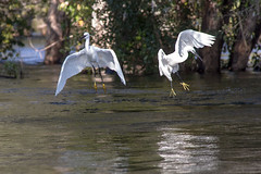 Egrets in flight - Chobe River (GrahamJY) Tags: birds namibia egrets choberiver ichingochoberiverlodge