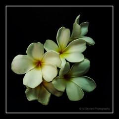 Plumeria (uvaisjm - Al Seylani Photography) Tags: flowers flora plumeria frangipani araliya blinkagain