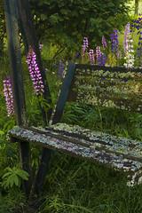 Old Wooden Garden Swing (pni) Tags: grass leaves suomi finland garden wooden quiet swing growth lupin pietarsaari jakobstad skrubu j13 pni pekkanikrus